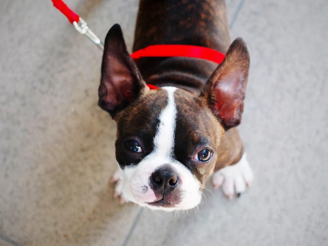 bostonski-terijer-pas