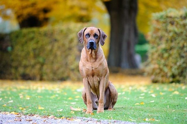 rodezijski-ridžbek-rase-pasa