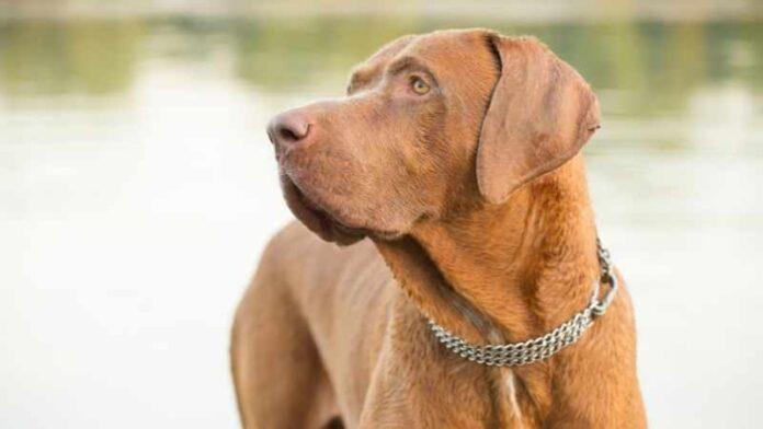 rase-pasa-srpski-odbrambeni-pas (1)