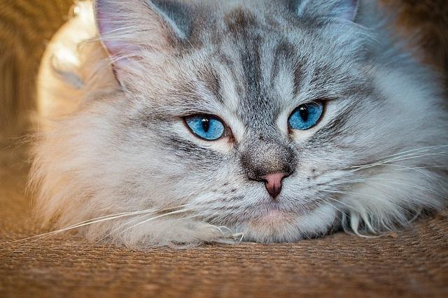 sibirska-mačka