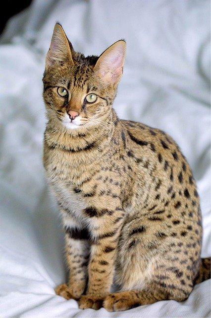 savana-mačka-rase-mačaka