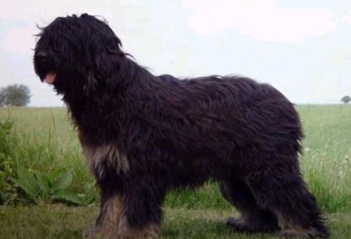aireski-ovčar-moj-ljubimac-rase-pasa