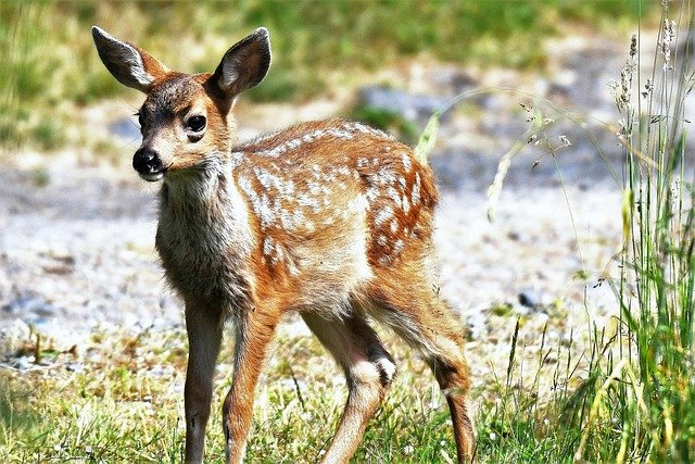 lane-bambi