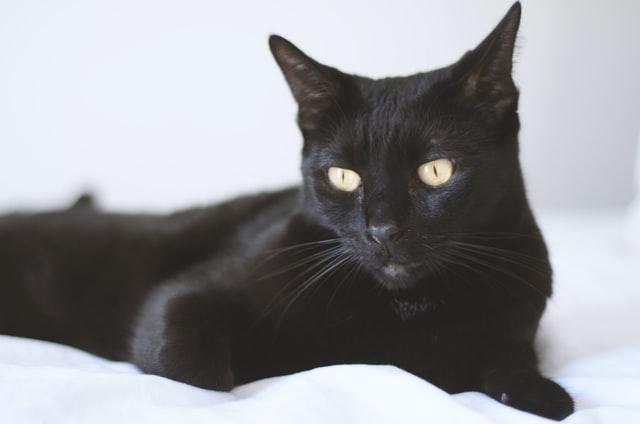 bombajska-mačka-rase-mačaka