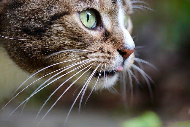 mačka-brkovi