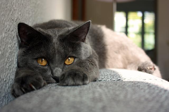 kartuzijanska-mačka-rase-mačaka