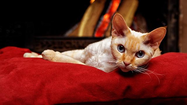 devon-reks-rase-mačaka-moj-ljubimac