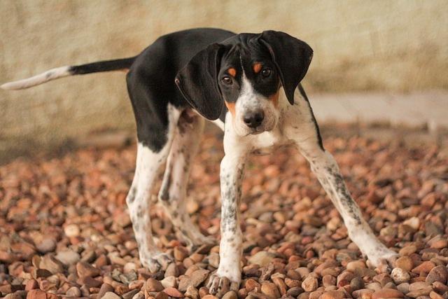 američki-lisičar-rase-pasa