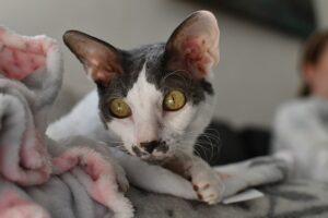 koriniš-reks-rase-mačaka-moj-ljubimac-info (2)