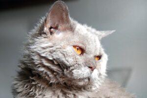 selkirk-rex-rase-mačaka-moj-ljubimac (1)