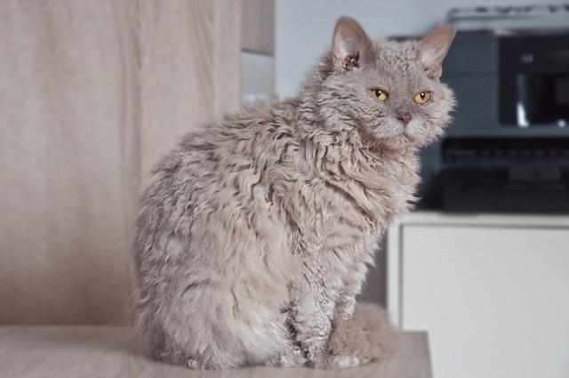 selkirk-rex-rase-mačaka-moj-ljubimac (2)