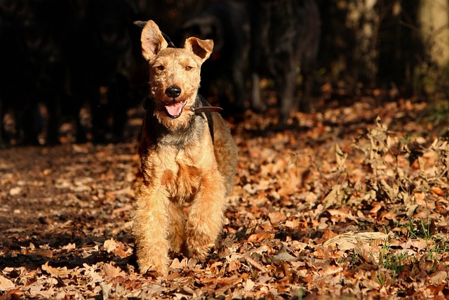 velški-terijer-rase-pasa-moj-ljubimac (1)