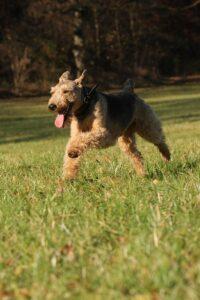 velški-terijer-rase-pasa-moj-ljubimac (2)