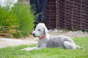 rase-pasa-bedlington-terrier-76572_640