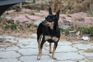 dog-terier-engleski-patuljasti-terijer-rase-pasa (2)