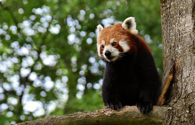 crvena-panda