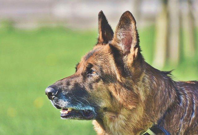 pas-nemački-ovčar