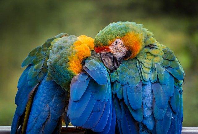 zdravlje-i-perje-papagaja-moj-ljubimac