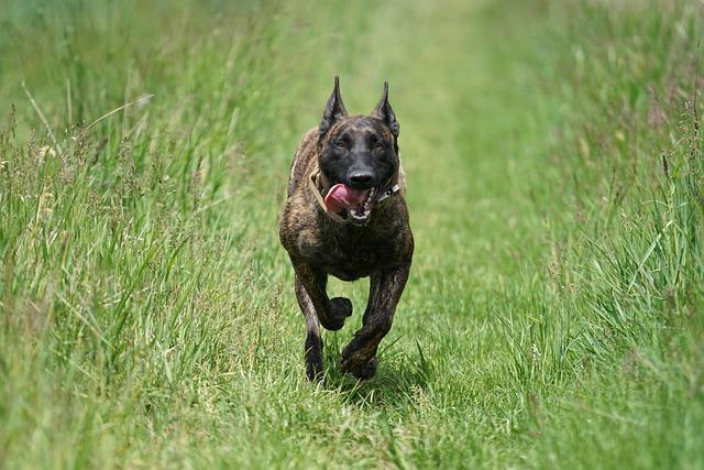 holandski-ovčar-rase-pasa