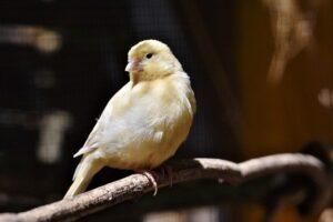 kanarinac-ptice-ostali-kućni-ljubimci-moj-ljubimac (2)