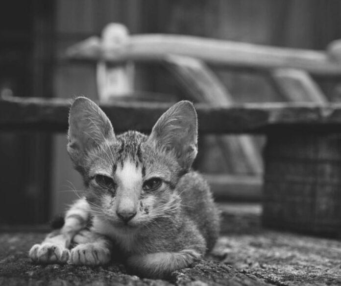 mačka-mače-crno-belo