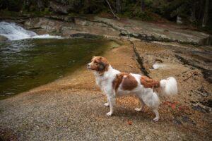 mali-holandski-pas-za-lov-ptica-na-vodi-rase-pasa-moj-ljubimac (3)