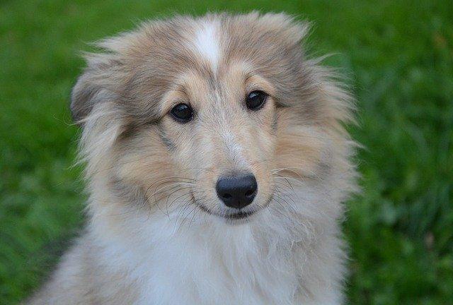 šetlanski-ovčar-rase-pasa-moj-ljubimac-info (1)