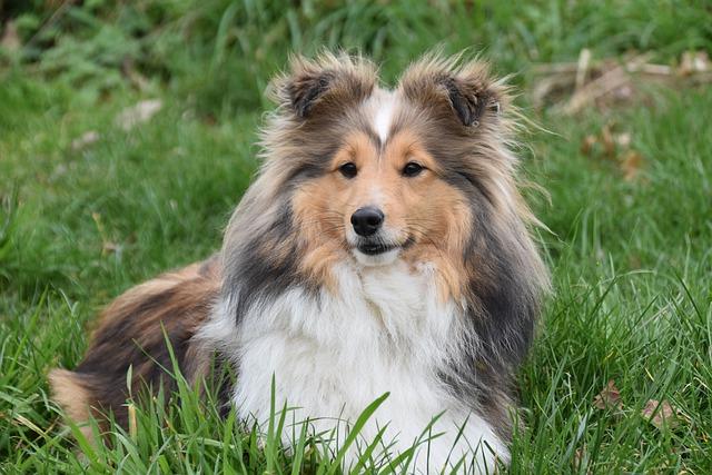 šetlanski-ovčar-rase-pasa-moj-ljubimac-info (2)