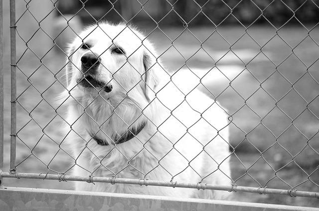 slovački-pastirski-pas
