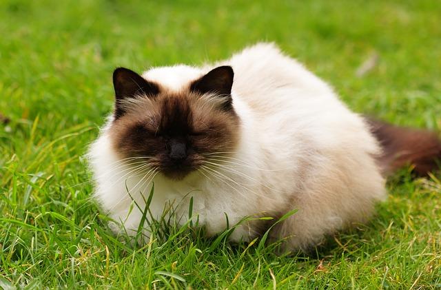 himalajska-mačka