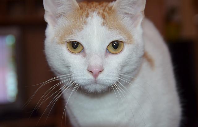 turska-van-mačka-rase-mačaka