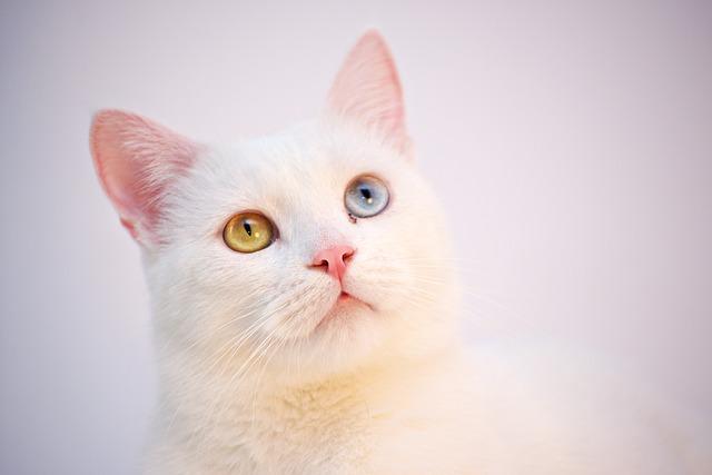 turska-angora-mača-rase-mačaka
