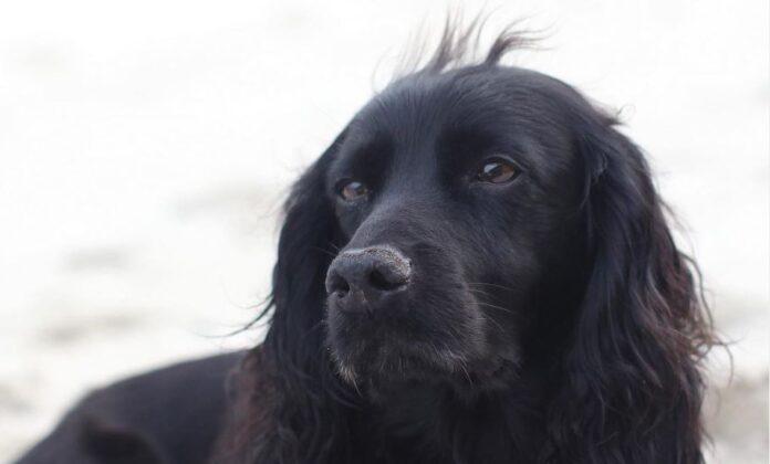 pas-kraljevstvo-engleska