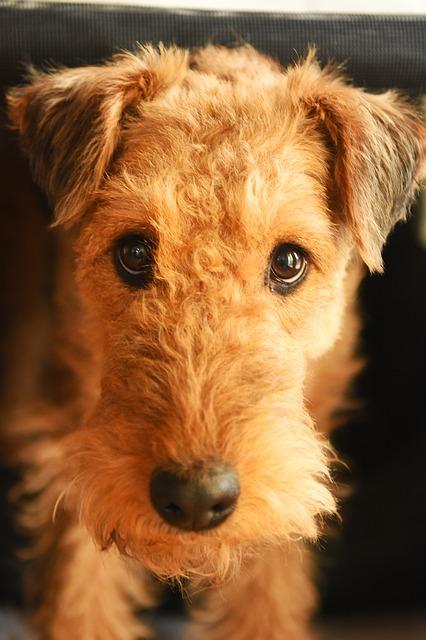 erdel-terijer-rase-pasa