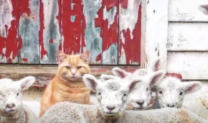 mačak-koji-misli-da-je-jagnje