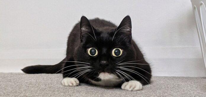 curious-zelda-mačka-oči