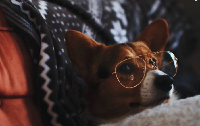 korgi-pas-psi-kuče-kafić-moj-ljubimac-info