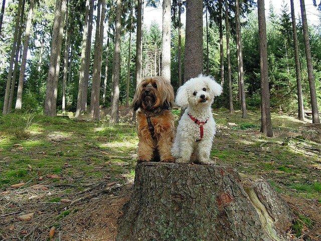 dva-psa-pas-šuma