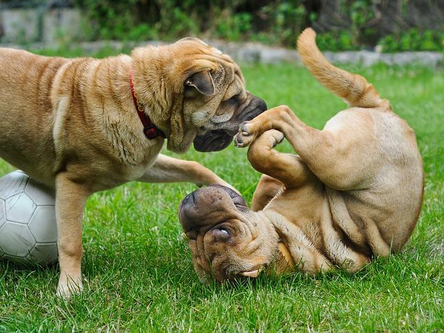 psi-dva-psa-igra-dvorište