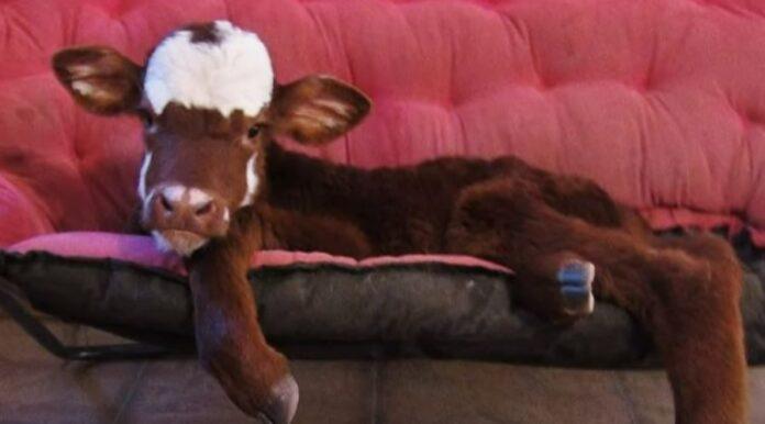 mini-krava